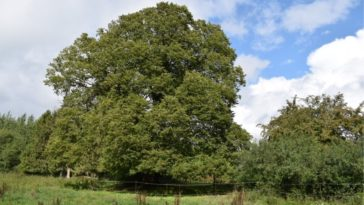 arbre menacé d'extinction