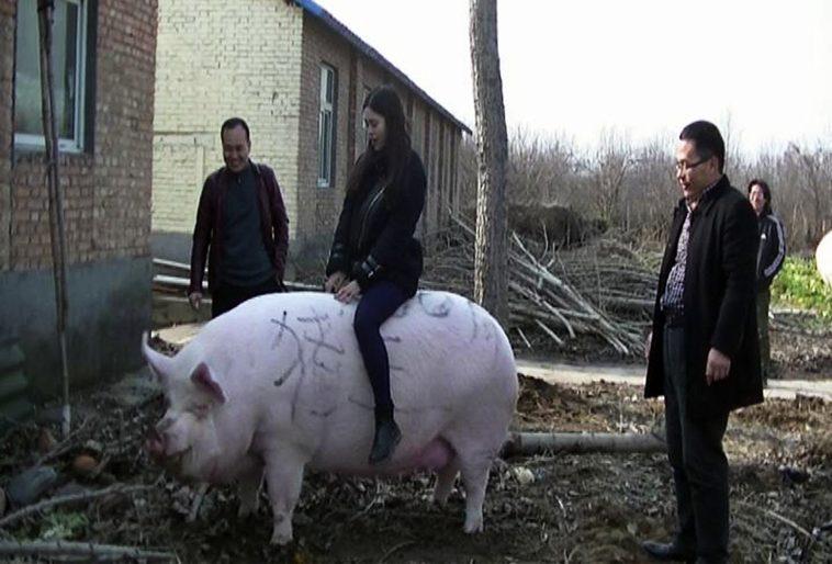 porc géant chine