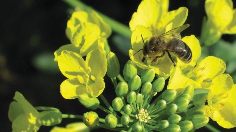 abeille-pesticide